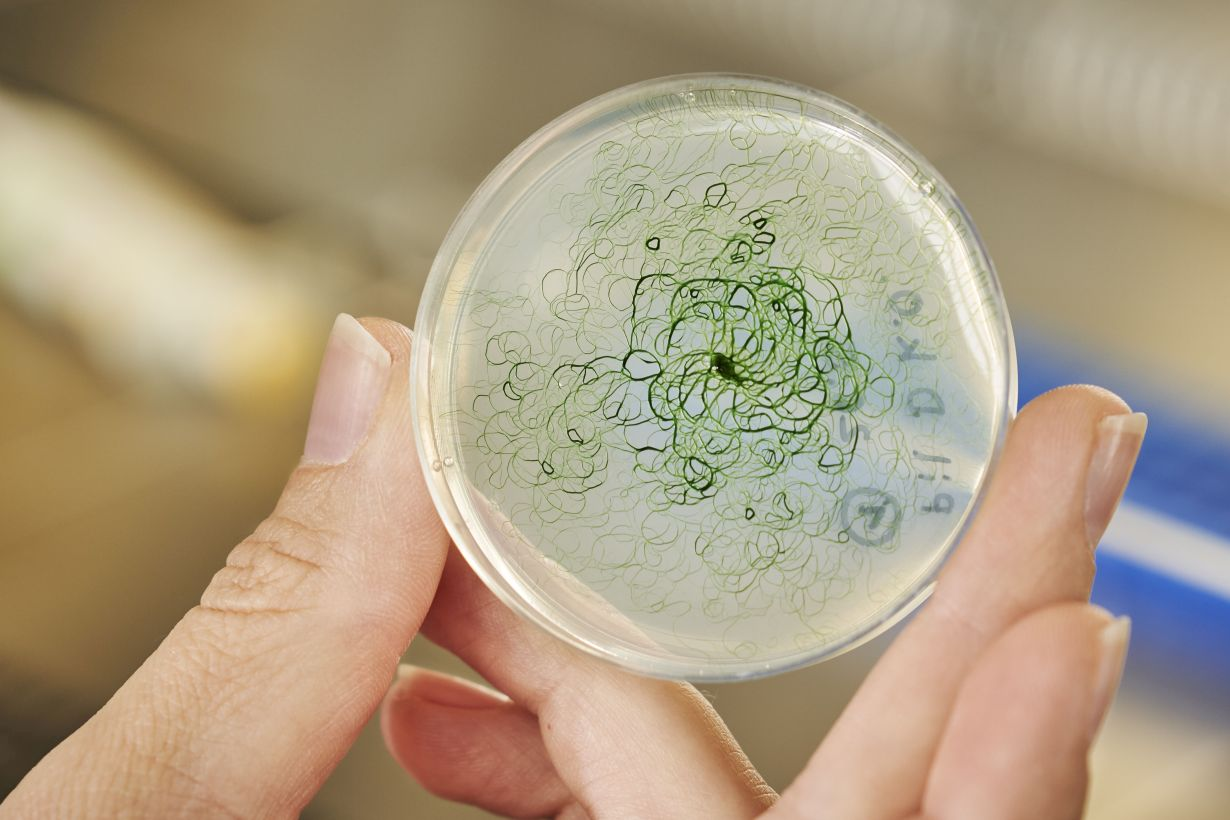 Cyanobacteria producing ethanol or hydrogen – natural gene transfer could make this possible
